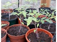 Tomato Plants ready to pot on / plant out