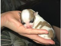 Tiny tea cup chihuahua puppies for sale!!!!