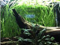 Vallisneria tropical aquarium plant x 10