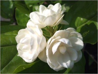5 Arabian Jasmine Seeds Rare Tropical Fragrant Flower While Perennial - Tropical Flower