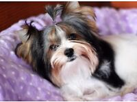 KC registered biewer/yorkshire terrier boy