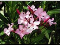 Nerium oleander Plant Size: 35-40cm (Incl. Pot)