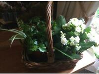 2 plants/ Kalanchoe +mix of green plants in small straw basket