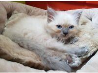 Blue eye Kittens - 2 Boys left