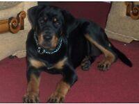 rottweiller pup female