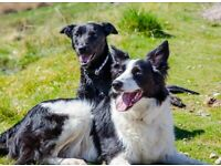 Well trained Border Collie & Lurcher