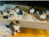 7 beautiful 8 week old kittens