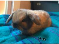 Gorgeous pure breed mini lops