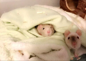Free friendly female rat 8 months old-everything included