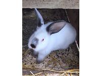 New Zealand x Californian kits / baby rabbits ready for new homes