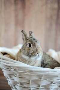 "Young Male Rabbit - Dwarf-Bunny Rabbit: ""Benvolio (Benny)"""