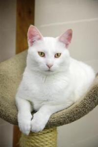 "Adult Female Cat - Domestic Short Hair: ""Snow White"""