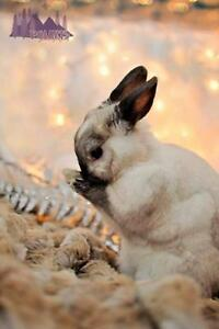 "Adult Male Rabbit - Dwarf-Bunny Rabbit: ""Pippin"" London Ontario image 1"