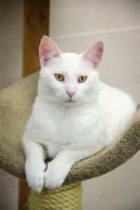 "Adult Female Cat - Domestic Short Hair: ""Snow"""
