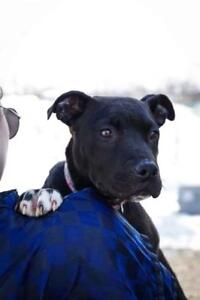 """Young Female Dog - Pit Bull Terrier: """"Knox"""""""