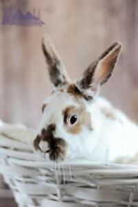 "Adult Female Rabbit - Bunny Rabbit: ""Abigail"""