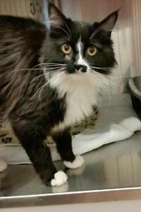 "Adult Female Cat - Domestic Long Hair: ""Jazzy"""