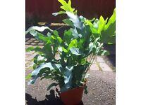 Blue star ferns