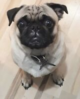 REWARD!!!!$$$$!!! Lost pug plz help!!