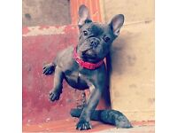 Blue and Lilac French bulldog puppies for sale