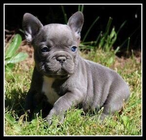 CKC Reg french bulldog puppies just born (not import puppies)