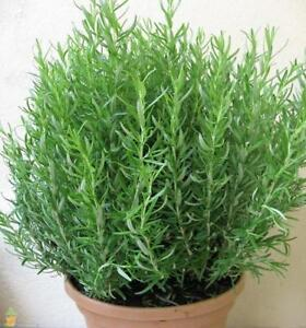 ROSEMARY - ORGANIC HERB - 1 LIVE PLANT - NON-GMO GroCo  Guaranteed plants USA