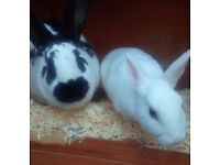 Two lovely female rabbits and hutch now sold
