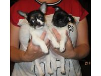 Wooki and loki Two very Small happy go lucky bros Male puppies for sale.