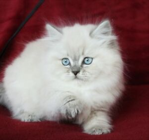 Blue Eyed Persian Himalayan Kittens