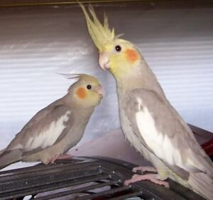 Baby Cockatiels ready for there forever homes.