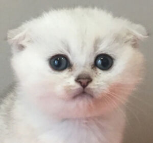 Scottish Fold)   Kijiji in Ontario  - Buy, Sell & Save with Canada's