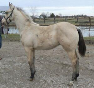 2017 Buckskin stallion by Sunrise Zippo