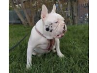 Sad rehome Merle French bulldog