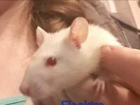 Rats £5