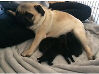 Pug puppies health tested parents. Ready next week