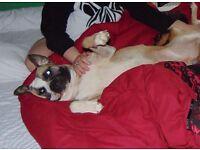 two years old american bulldog cross male
