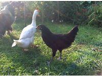 Beautiful Young Hen
