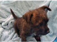 West Highland terrier cross border Terrier puppies