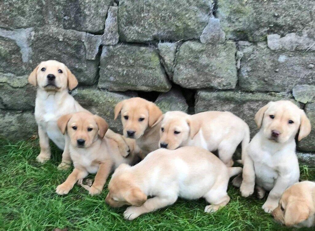 KC reg Labrador puppies Golden/Fox Red | in Hoghton, Lancashire | Gumtree