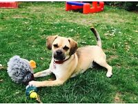 Puggle for sale - £150