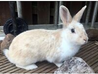x2 Lovely Rabbits, 12 months old, pair of males Well cared for, Good Home Required!