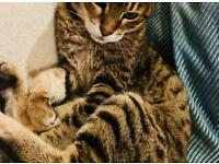 Bengal Female Cat looking to be adopted