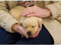 Beautiful, confident Golden Labrador puppies