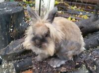 Male Lion head rabbit for breeding