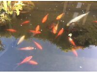 SOLD - all fish have now been sold Healthy POND fish for sale