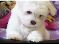 Maltese Puppies 9 weeks old and ready now