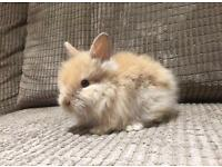 Female Lionhead Rabbit available!