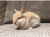 Female Lionhead Rabbit available!