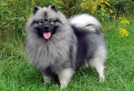 Wanted: Keeshond wanted