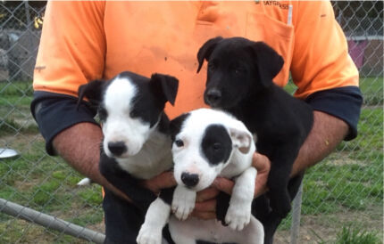 Kelpie X Border Collie Londonderry Penrith Area Preview